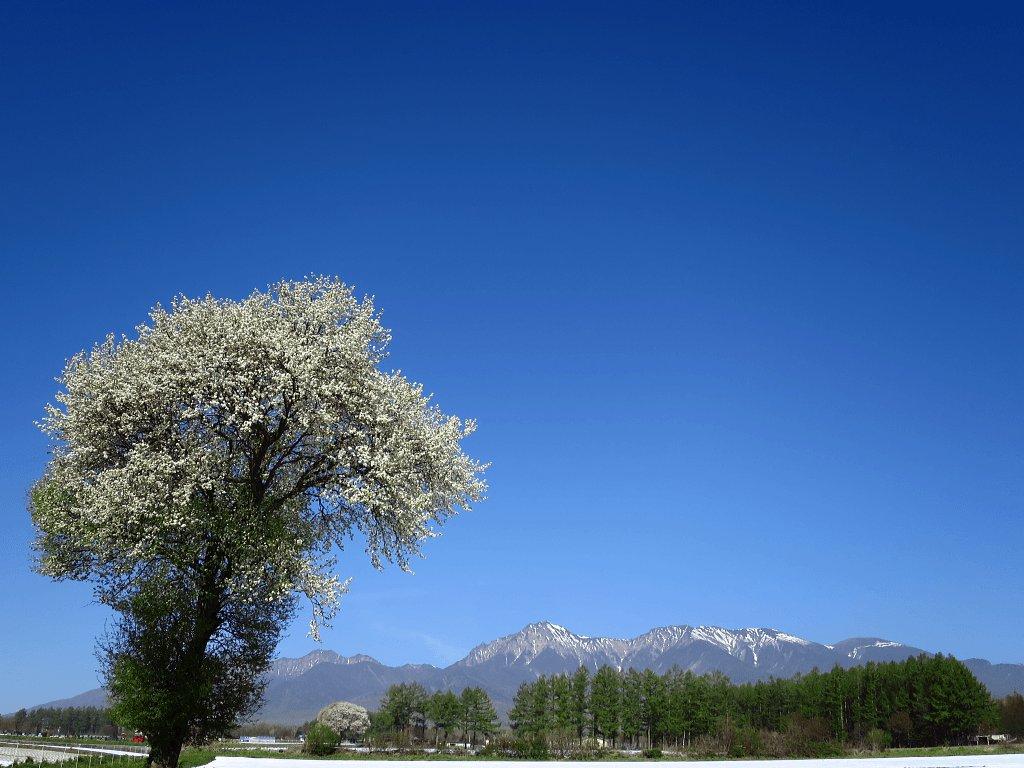 八ヶ岳野辺山高原のヤマナシの花