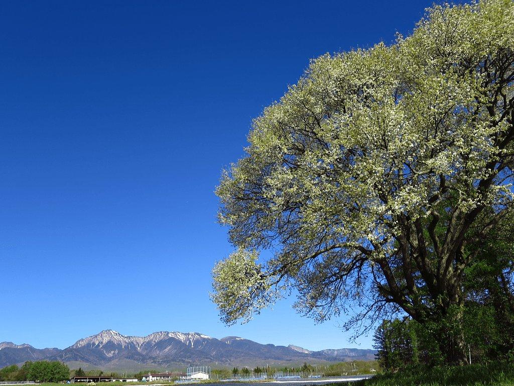 八ヶ岳野辺山高原のヤマナシの花・・・2